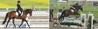 rules u0026 information thoroughbred classic horse show