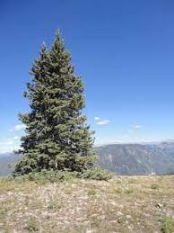 pseudotsuga menziesii douglas fir rocky mountain douglas fir pfaf