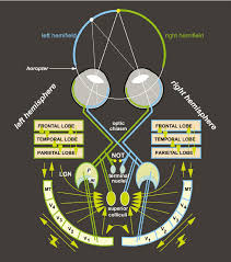 the basic wiring diagram of the visual system ganglion cells from
