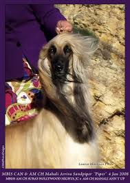 afghan hound judging list ahi afghan hound pedigree database