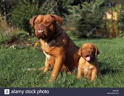 House Dogs by Bordeaux Mastiff Dam Puppy Sits Meadow Animals Mammals Dogs Stock