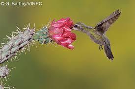 Hummingbird On A Flower - vireo bird photos