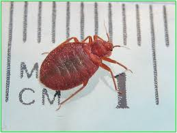 Killing Bed Bugs In Clothes Get Rid Bed Bugs Without Exterminator Bed Bug Pest