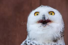 Shocking Meme - white owl with shocking meme face stock image image of midwest