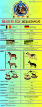 belgian malinois quotes german shepherd vs belgian malinois globerove survival