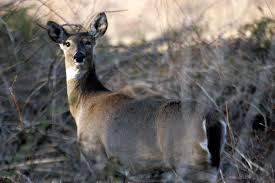 bambi u0027s revenge deer photographed nibbling on human bones a