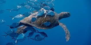imagenes tortugas verdes movimientos de la tortuga verde jpg