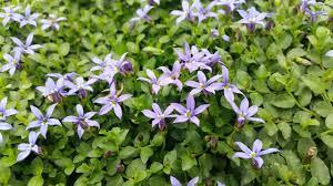 georgia native plants evergreen nursery inc wholesale perennials u0026 groundcovers for