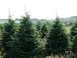 real fraser fir trees freshly cut trees