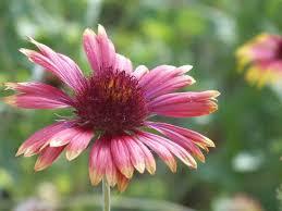 iowa native plant society wildflowers across america