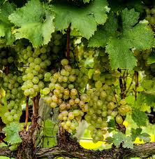 free images grape vineyard bunch fruit sweet ripe food