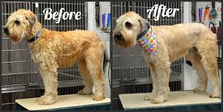 wheaten haircuts dog grooming before and after photo yelp