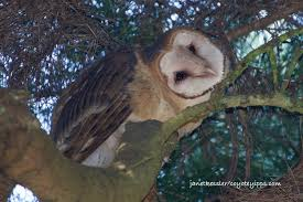 Barn Owl Sounds Barn Owls In Glen Canyon San Francisco Forest Alliance