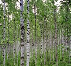 birch tree pictures
