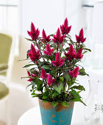 buy woolflowers celosia caracas u0027deep purple u0027 bakker com