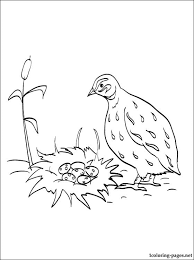 quail coloring page for free coloring pages