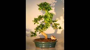 bonsai trees a montage of beautiful bonsai from oriental decor