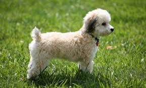 bichon frise and cats top 10 cat friendly small dogs care2 healthy living