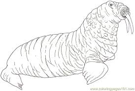 coloring page for walrus mural tsb walrus reverse coloring page free walrus coloring pages