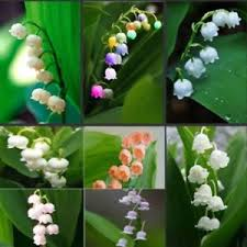 of the valley flower 200pcs convallaria majalis seeds 10 colors mixed of the