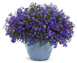 Plants For Dark Rooms by Lucia Dark Blue Lobelia Erinus Proven Winners