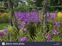 vanda orchids vanda orchids orchid park taman orkid kuala lumpur malaysia