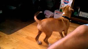 2 female boxer dogs together boxer pitbull mix puppy youtube