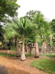cycads palms