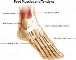Foot Tendons Anatomy Foot Muscles And Tendons Stock Vector Art 477502751 Istock