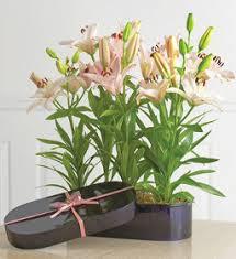 Lily Plant Lily Bulbs Plant Pampanga Philippines Lily Plant Pampanga