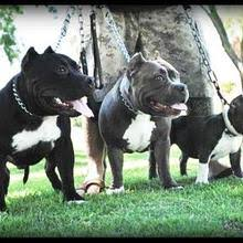 american pitbull terrier in india american bully puppies for sale