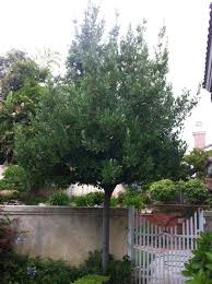 plum tree symbolism l z