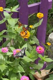 echinacea purpurea butterfly kisses large garden