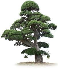 japan tree トップ 日本の高級マキ 松の販売及び輸出