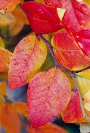 10 midwest plants instant fall color midwest living