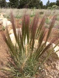 flagstaff native plant and seed bottlebrush squirreltail grass u2014 northern arizona invasive plants
