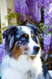 australian shepherd jump height cik cap life ilumenated