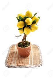 ornamental lemon tree in a pot artificial isolated stock
