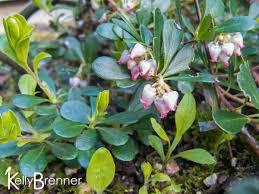 pnw native plants the metropolitan field guide wildlife plants kinnikinnick the