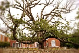White Oak Tree The U0027holy Oak U0027 The Oldest White Oak Tree In The Us Is
