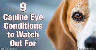 Blind Dog Eye Discharge 9 Canine Eye Conditions To Watch Out For