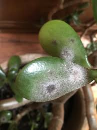 Plant Diseases Identification - jade plant ask an expert