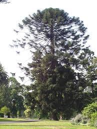 native edible plants australia bidwillii araucaria bunya bunya pine large leafy tree with