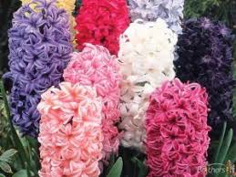 Hyacinth Flower The 25 Best Hyacinth Flower Pictures Ideas On Pinterest Muscari