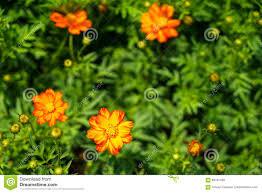 shades of orange and yellow color cosmos sulphureus among green