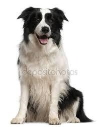 australian shepherd 2 mesi border collie stock photos royalty free border collie images