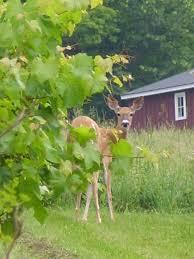 deer and rabbit proofing my garden vermont farm heart