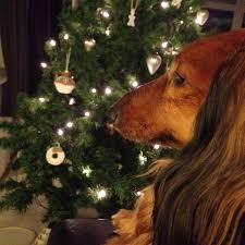 85 best dachshund teckel images on pinterest dexter dachshunds