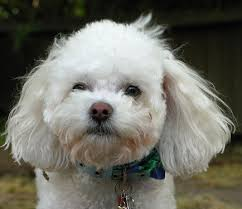 bichon frise and a shih tzu what should you expect from a bichon frise poodle mix
