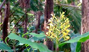 native ginger plant kahili ginger photos did you know big island trivia and factsheet